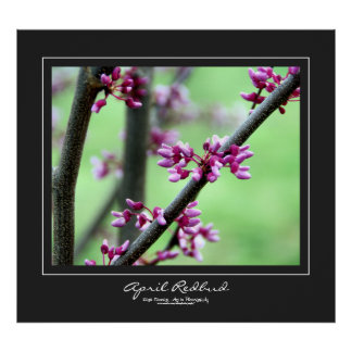 April Redbud Charcoal Gray Border Poster