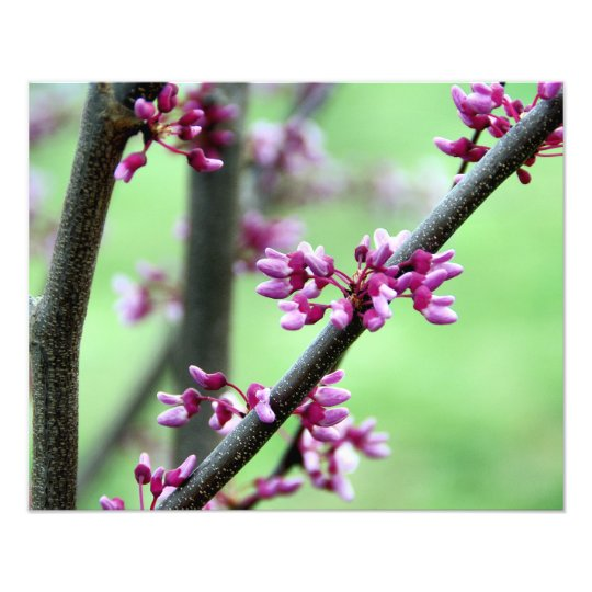April Redbud Photo Print