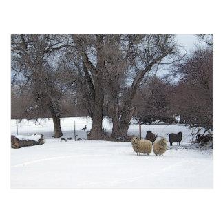 April Snow Sheep Postcard