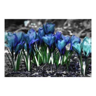 Aqua Blue Crocus Blooms Photo Print