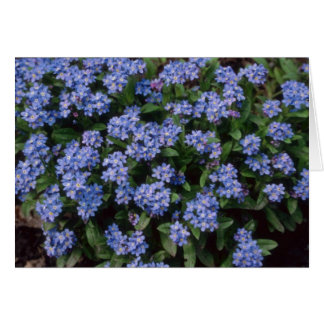 Aqua Forget-Me-Not, (Myosotis Alpestris) flowers Cards