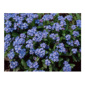 Aqua Forget-Me-Not, (Myosotis Alpestris) flowers Post Cards