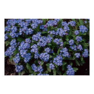 Aqua Forget-Me-Not, (Myosotis Alpestris) flowers Posters