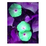 Aqua N Violet Morning Glory postcard