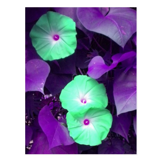 Aqua N Violet Morning Glory postcard