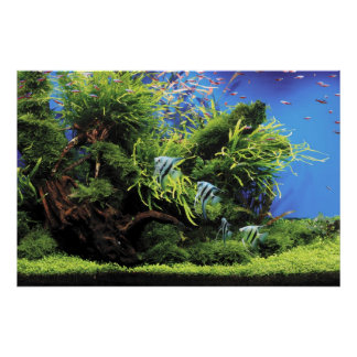 Aquarium of Freshwater Angelfish Posters