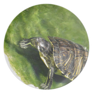 Aquatic turtle getting out of water dinner plate