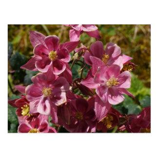 Aquilegia vulgaris postcard