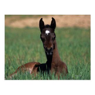 Arab Foal Laying Down Postcard