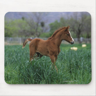 Arab Foal Standing Mouse Pad