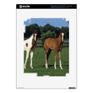 Arab Foals Standing in Grassy Field iPad 3 Skins