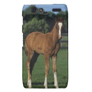 Arab Foals Standing in Grassy Field Motorola Droid RAZR Cover