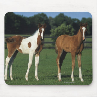Arab Foals Standing in Grassy Field Mouse Pad