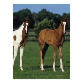 Arab Foals Standing in Grassy Field Postcard