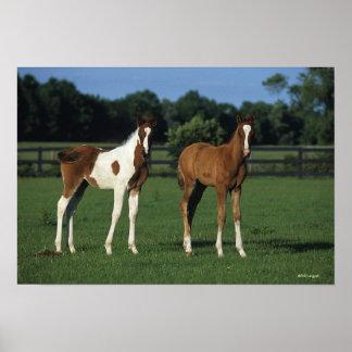 Arab Foals Standing in Grassy Field Poster