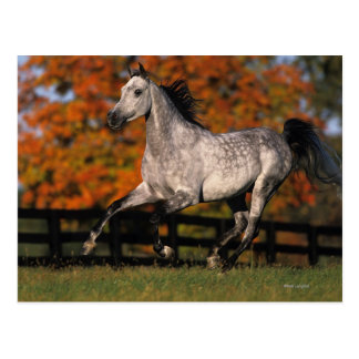 Arab Horse: Autumn 1 Postcard