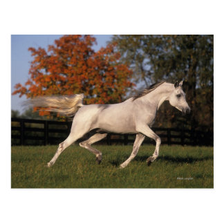 Arab Horse: Autumn 2 Postcard