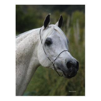 Arab Horse Headshot 1 Postcard