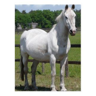 Arab Horse Postcard