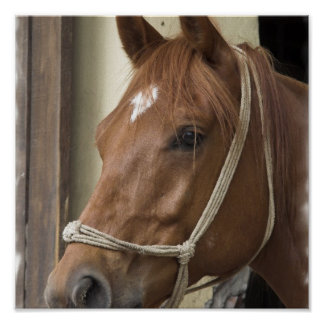 Arab Horse Poster Print