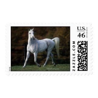 Arab Horse Running 1 Postage Stamp