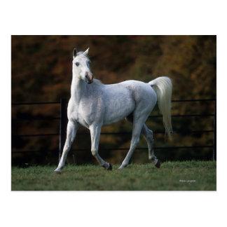 Arab Horse Running 1 Postcard