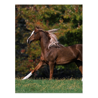 Arab Horse Running in Grassy Field Postcard