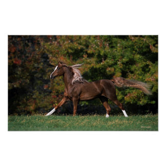 Arab Horse Running in Grassy Field Poster
