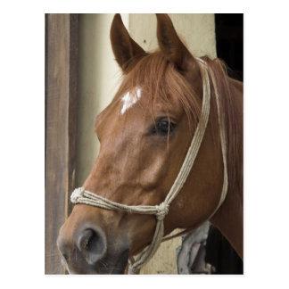 Arab Horses Postcard