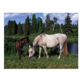Arab Mare & Foal 2 Postcard