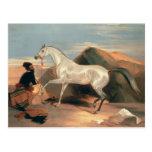 Arab Stallion Postcard