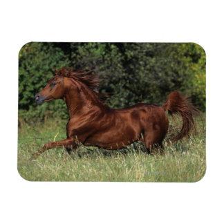 Arab Stallion Running in the Grass Magnet