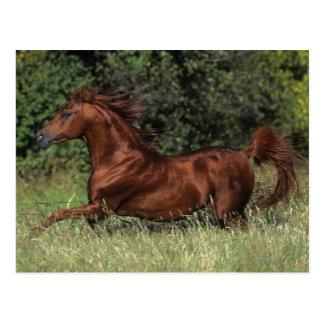 Arab Stallion Running in the Grass Postcard