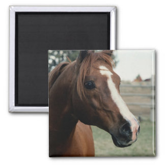 Arabian at Pasture 2 Inch Square Magnet