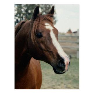Arabian at Pasture Postcard