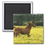 Arabian foal and mare running through magnets