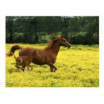 Arabian foal and mare running through postcard
