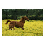 Arabian foal and mare running through poster