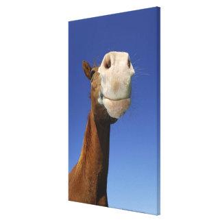 Arabian Horse, Bavaria, Germany Canvas Print
