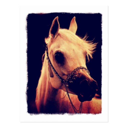 Arabian Horse in a Show Halter Postcards
