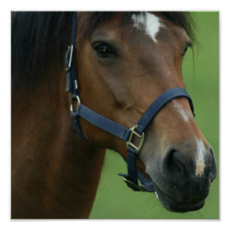 Arabian Horse Pictures Print