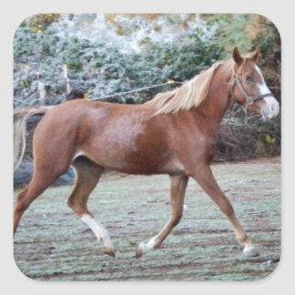 Arabian Horse running free on the pasture Square Sticker
