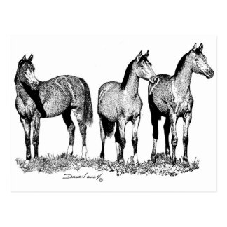 Arabian Horses Post Cards