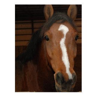 Arabian Horses Postcard