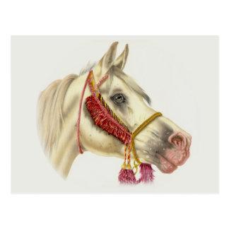 Arabian Stallion Postcard