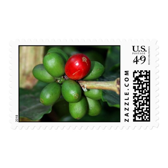 Arabica Coffee Cherry Beans from Puerto Rico Plant Postage