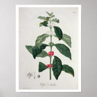 """Arabica del Coffea de """"Phytographie Medicale"""" por  Póster"""