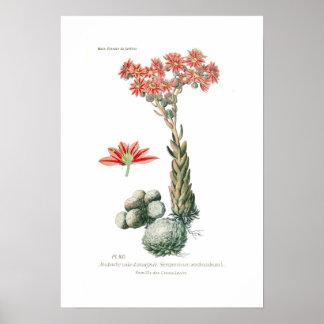 Arachnoideum de Semprvivum Posters