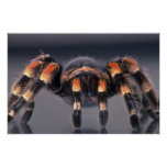 Araña asustadiza del Tarantula Poster
