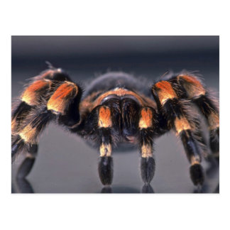 Araña asustadiza del Tarantula Postales
